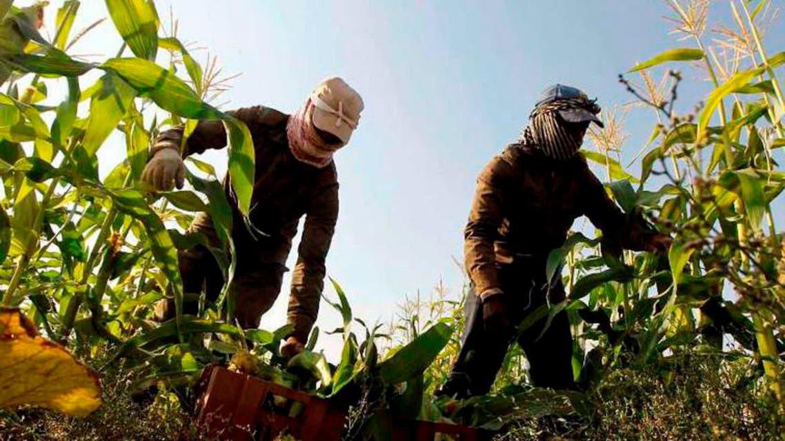 الزراعة في السعودية - محصول ذرة في الخرج غرب الرياض