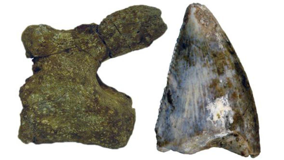 سن ديناصور وجانب من عظام الذنب