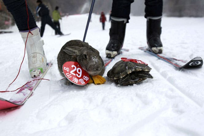 سلحفاة تسبق ارنب في سباق تزلق في الصين