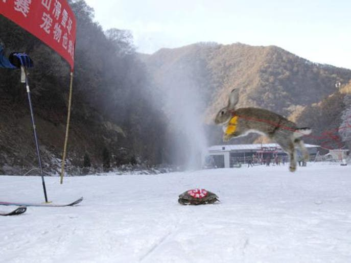 لأول مرة.. سلحفاة تسبق أرنباً في سباق تزلج بالصين