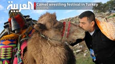 Camel wrestling festival in Turkey