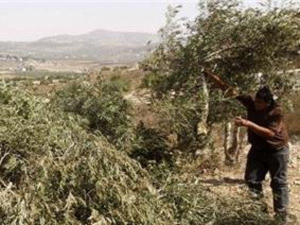 مستوطنون يسرقون 1000 شتلة زيتون من قرية قرب رام الله