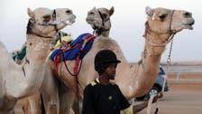 Thousands of camels on display in Saudi Arabia in world's biggest camel festival