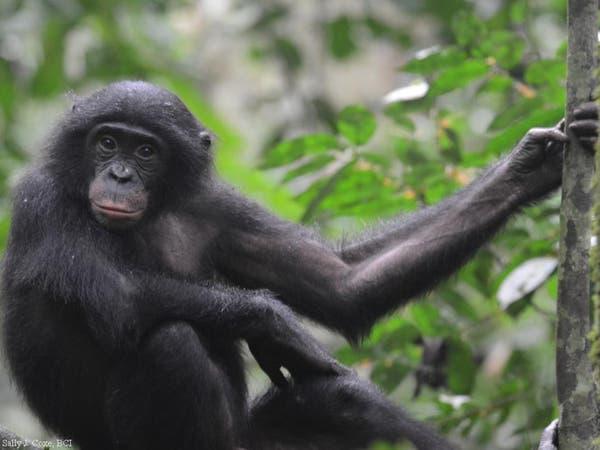 القرود تجيد الرقص على الإيقاع مثل الإنسان