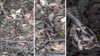 فيديو يظهر قدرة هائلة للطيور على التخفي والتمويه