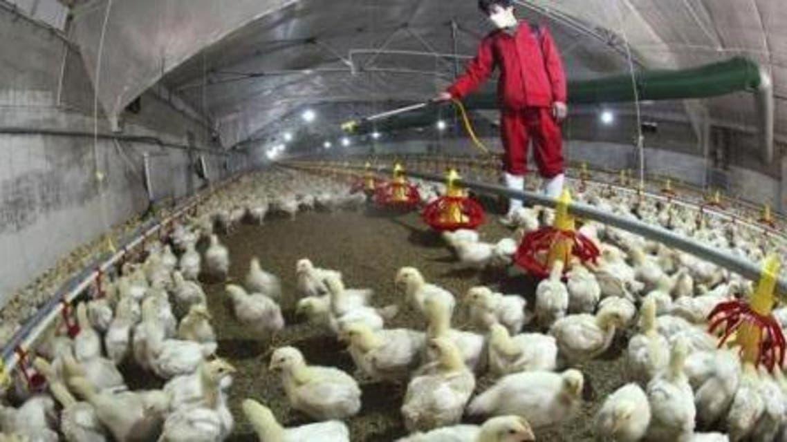 أول إصابة بإنفلونزا الطيور في مزرعة دواجن شرق ليبيا