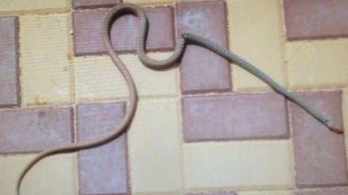 الثعابين توقف الدراسة بمدرسة بنات بتيماء