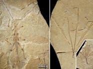 قبل 126 مليون سنة.. حشرة على شكل غصن
