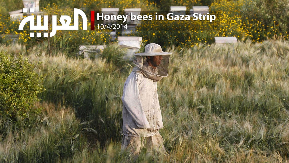 Honey bees in Gaza Strip
