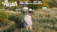 Honey bees in Gaza Strip