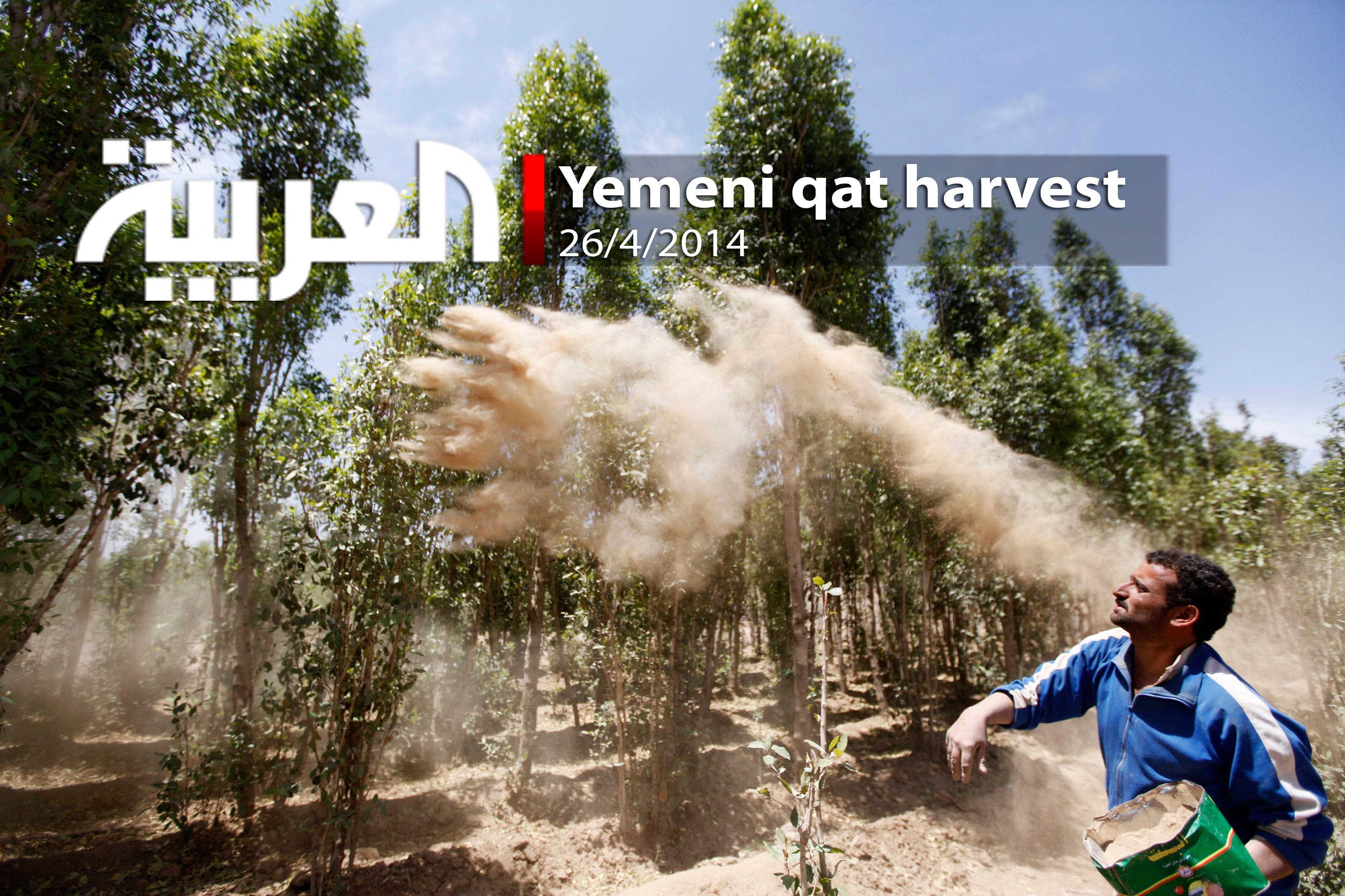 Yemeni qat harvest