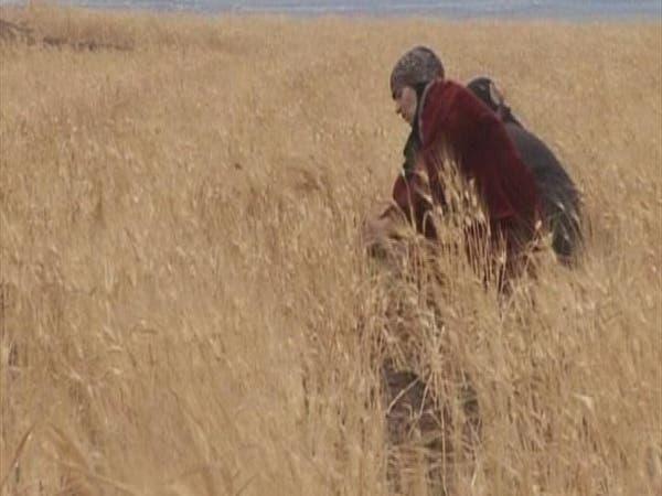 سوريا.. إنتاج القمح ينخفض إلى الثلث