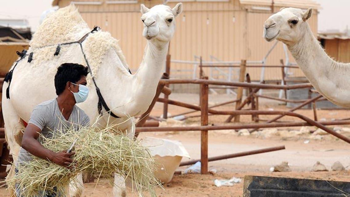 مربو الإبل في السعودية يرتدون كمامات تحسباً من كورونا