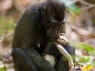 بالصور.. أنثى قرد المكاك تحتضن طفلها الميت لأيام