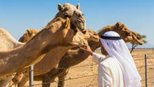 Kiss of death? Saudi camel fans don't think so