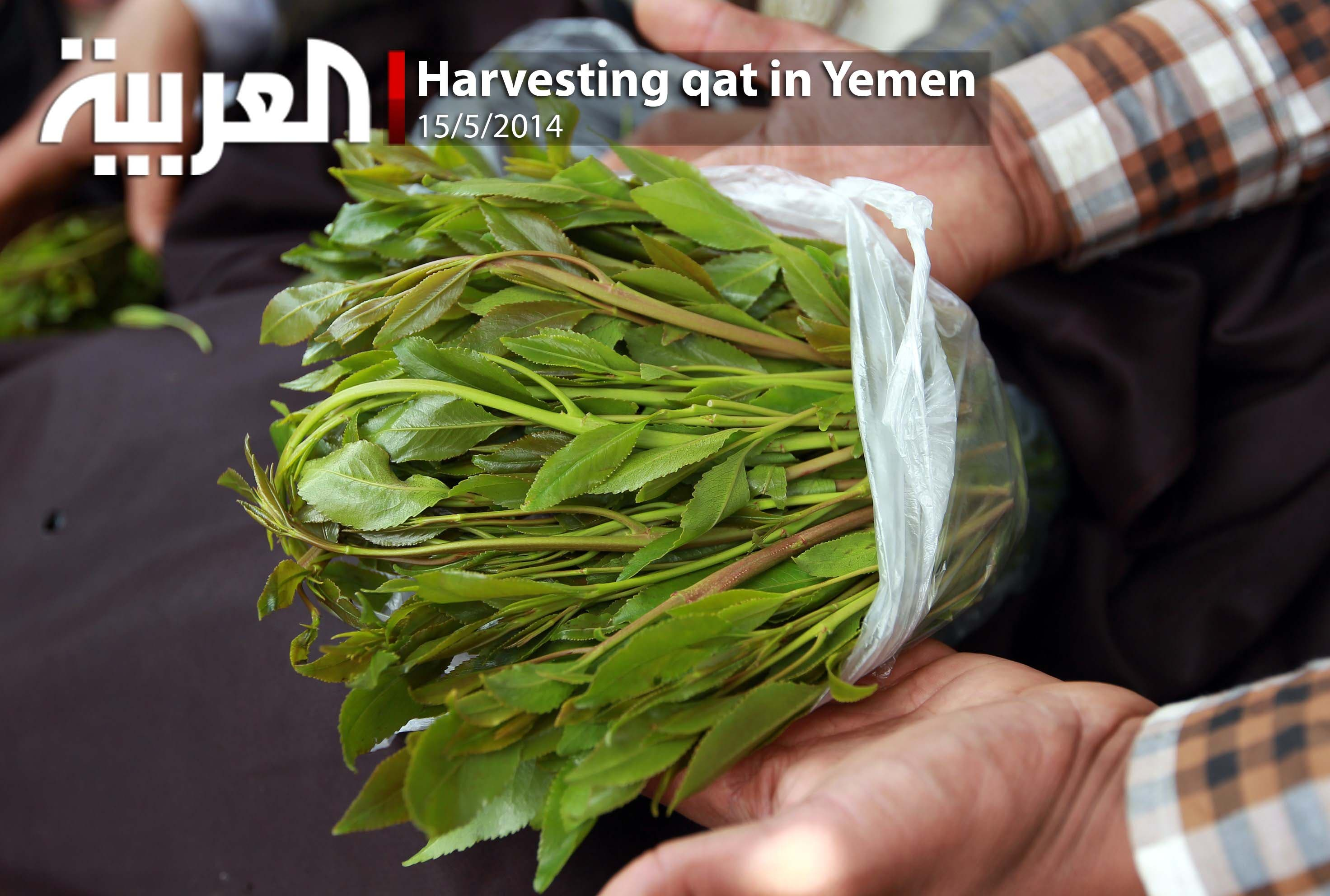 Harvesting Qat In Yemen
