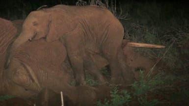 فيل رضيع يرفض مفارقة جثة والدته