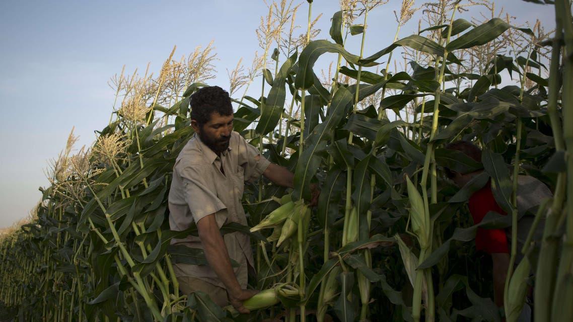 Harvest season in Gaza