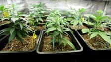 Voters discover marijuana plants at Egyptian school