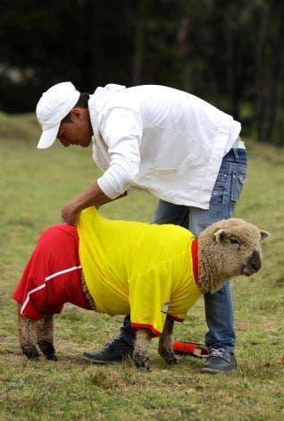 مباراة في كرة القدم بين كولومبيا والبرازيل للخراف