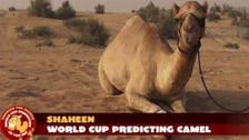 Meet Shaheen, the camel trying to predict World Cup wins