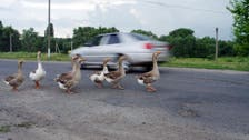 Canadian woman kills two in an attempt to save ducks