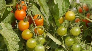 المغرب والاتحاد الأوروبي يسويان خلافهما حول الطماطم