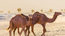 Camel-car collision kills Saudi man