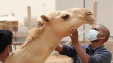 In virus hunt, Saudi Arabia suspects African camel imports