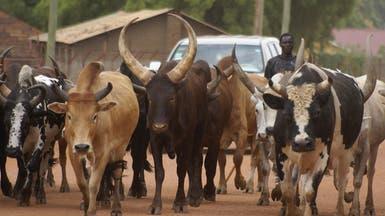 تكنولوجيا ثورية.. قياس أوزان البقر بالقمر الصناعي