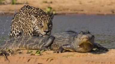 فيديو مذهل.. فهد يصطاد تمساحاً في البرازيل