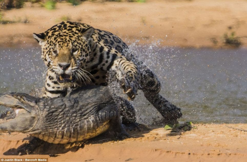 نمر يصطاد تمساح