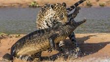 Jaguar viciously takes on crocodile in Brazil