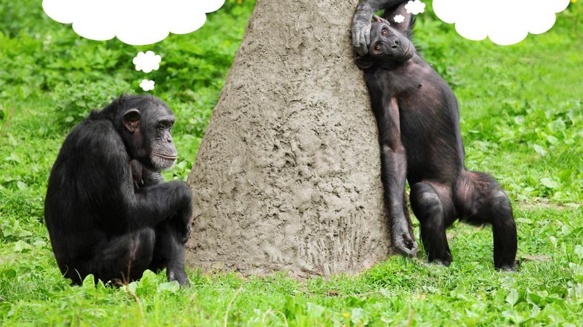 """Chimpanzees use their hands to say """"follow me,"""" """"stop that"""" or """"take this,"""" according to new research"""
