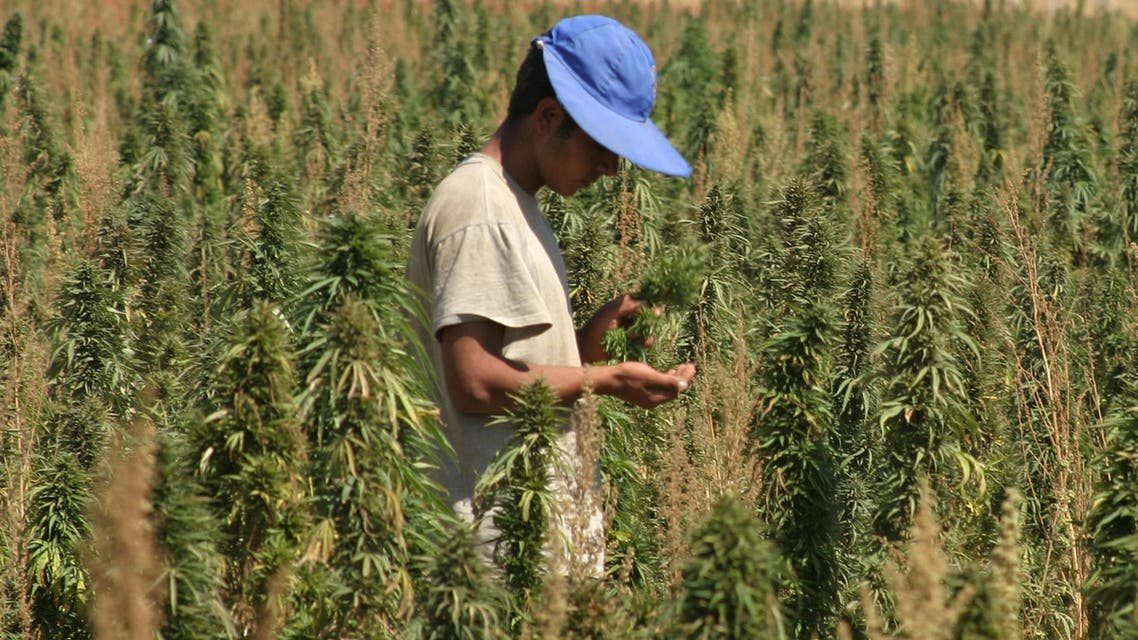 An agricultural worker inspects his crops of cannabis in a field in the Bekaa Valley, in eastern Lebanon September 25, 2007. (Reuters)