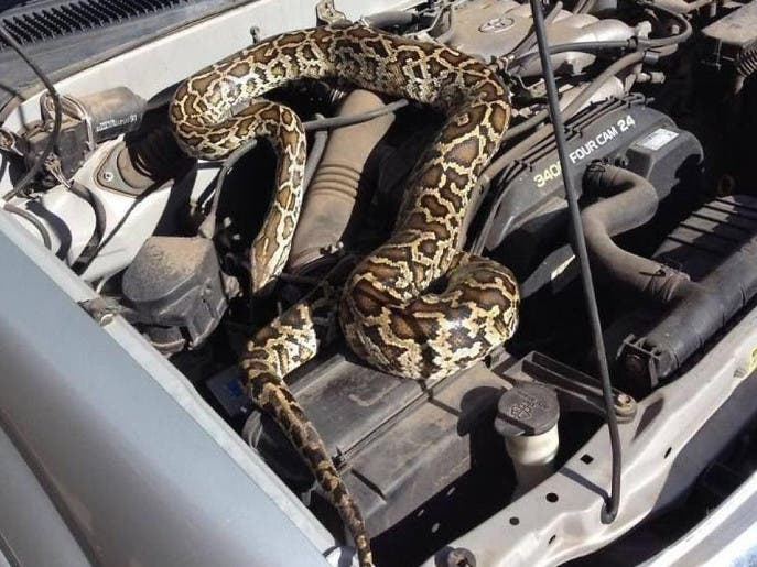 لمیدن یک مار پیتون روی موتور خودروی یک زن آمریکایی