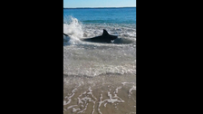 Video: hungry white shark chases sea lion ashore Perth beach