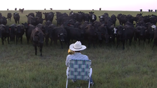 Man uses trombone to serenade field of curious cows
