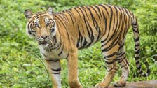 Tiger carries away woman in eastern India