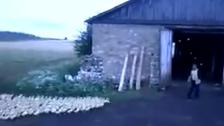 The Pied Piper of Russia? Farmer summons ducks into barn
