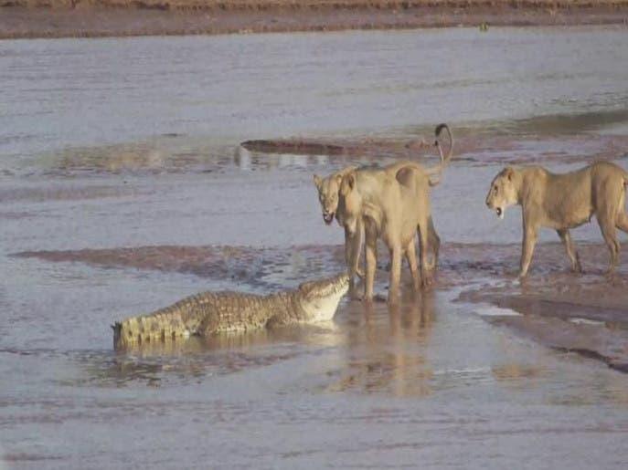 ویدیو.. نبرد سه شیر و یک تمساح بر سر یک فیل