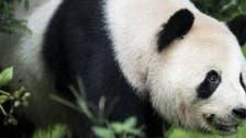 Panda fakes pregnancy to improve quality of life