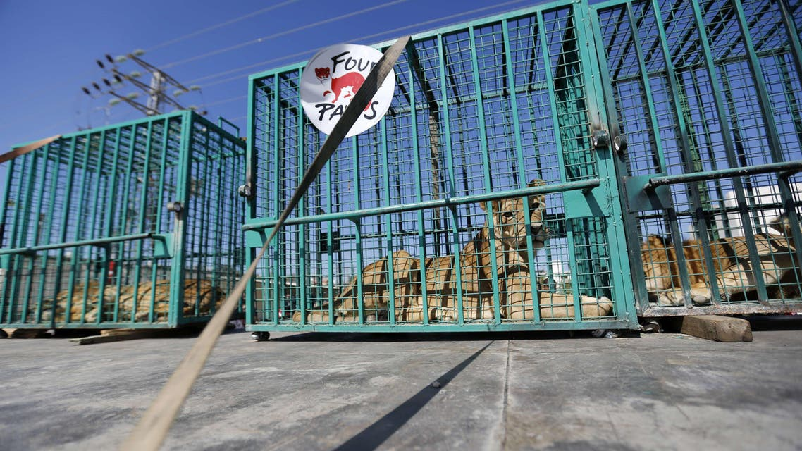 A lioness and two lions sit in cages as they wait to be transferred from the Gaza Strip's Bisan City tourist village zoo to Jordan through the Erez crossing with Israel, on September 30, 2014. AFP