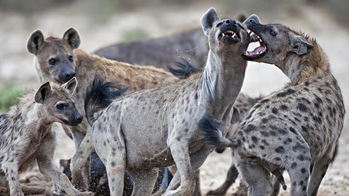 Hyenas Shutterstock