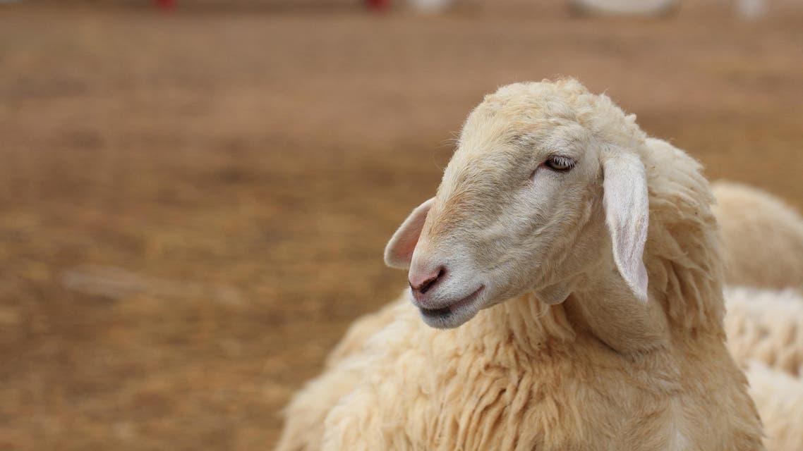 sheep shutterstock