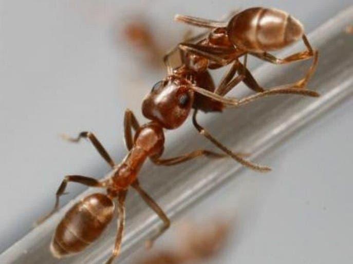 """""""النمل"""" يهاجم مدرسة مصرية ويصيب 82 تلميذا ومعلما"""
