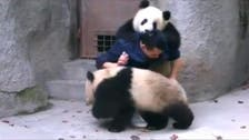 Baby pandas wrestle their way out of medication