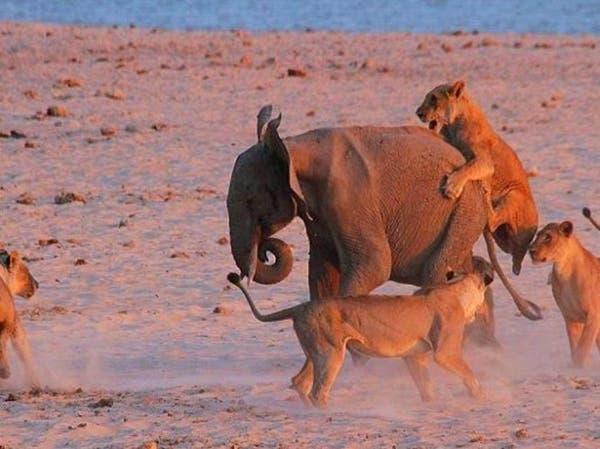 فيل مراهق يذل 14 أسداً في معركة برمائية