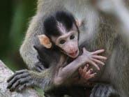 ظهور ملاريا قاتلة بماليزيا تنتقل من القرد للإنسان