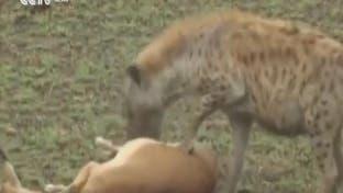 ویدیو.. تظاهر به مرگ یک آهو به نجات از پلنگ و کفتار انجامید